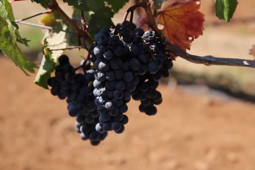 How Aerial Video Helps Harvest Vineyards